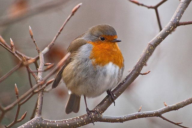 Puffed Up Winter Robin