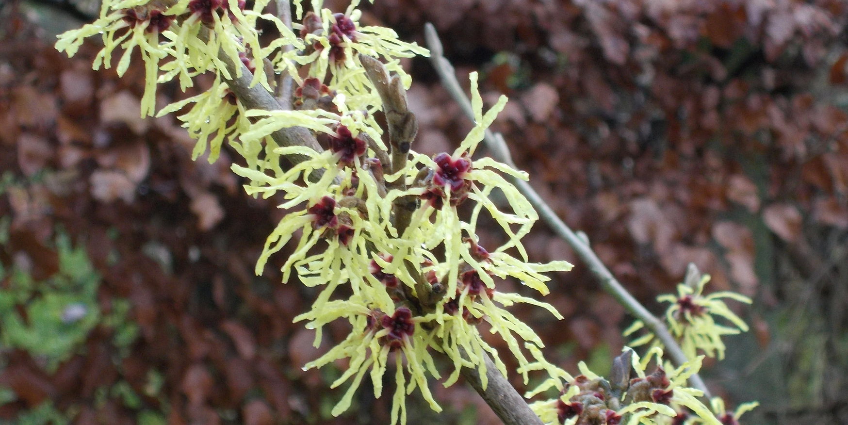 Witchhazel at Folly View Let
