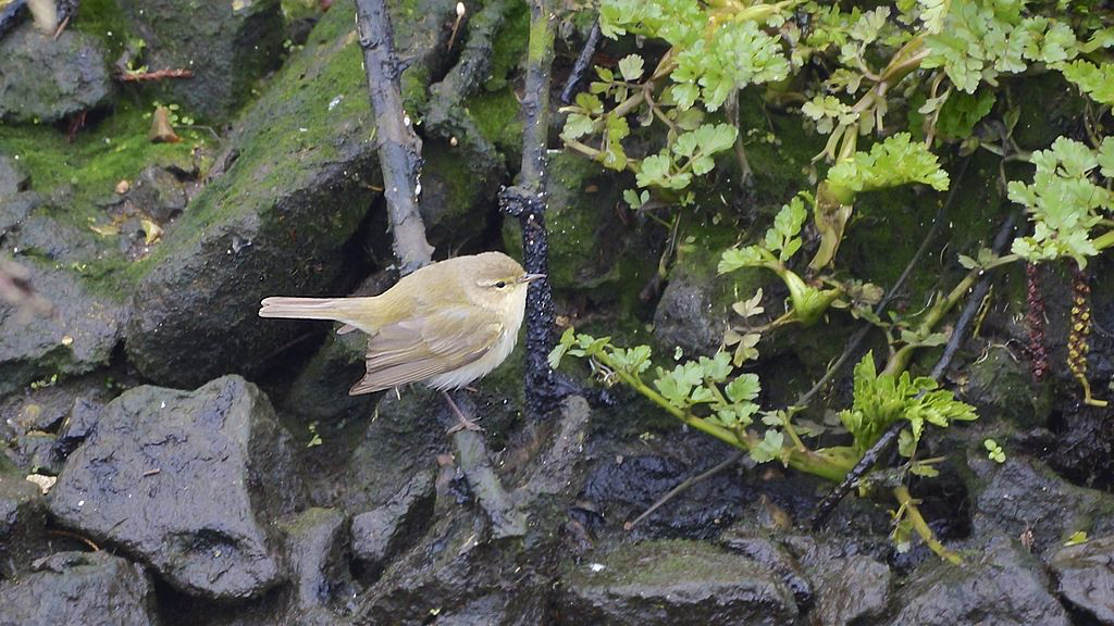 A Chiffchaff - Latin name: Phylloscopus collybita