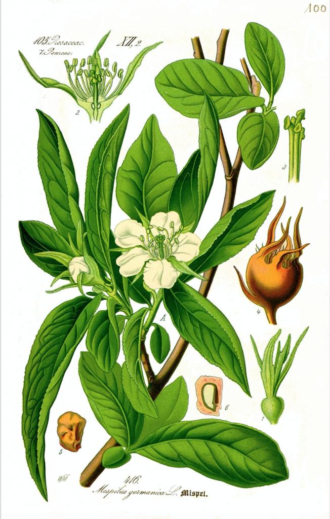 Medlar Illustration
