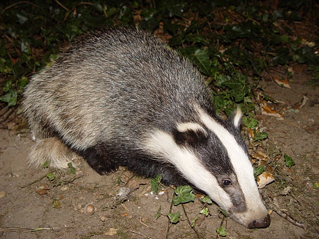 Photograph of a badger