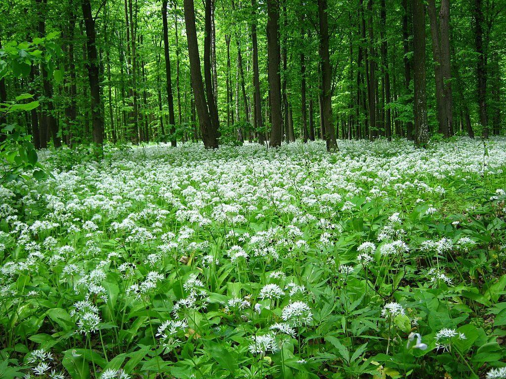 Blooming Wild Garlic