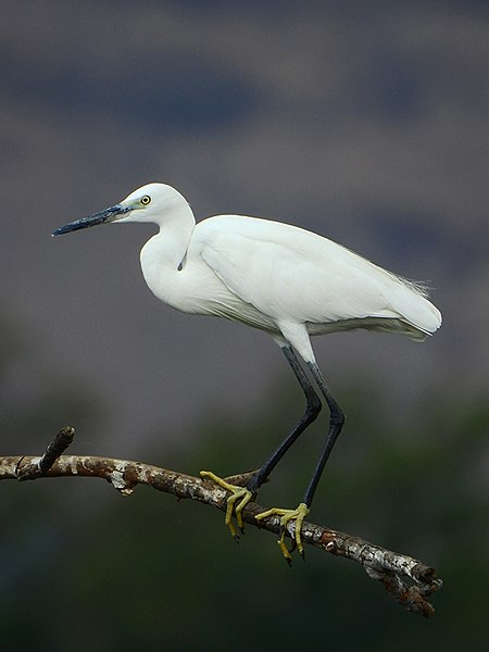 A photograph of a Little Egret (Egretta garzetta) taken by Shantanu Kuveskar