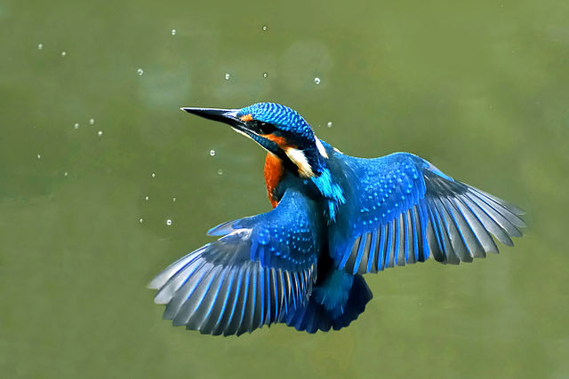 A photograph of a Kingfisher
