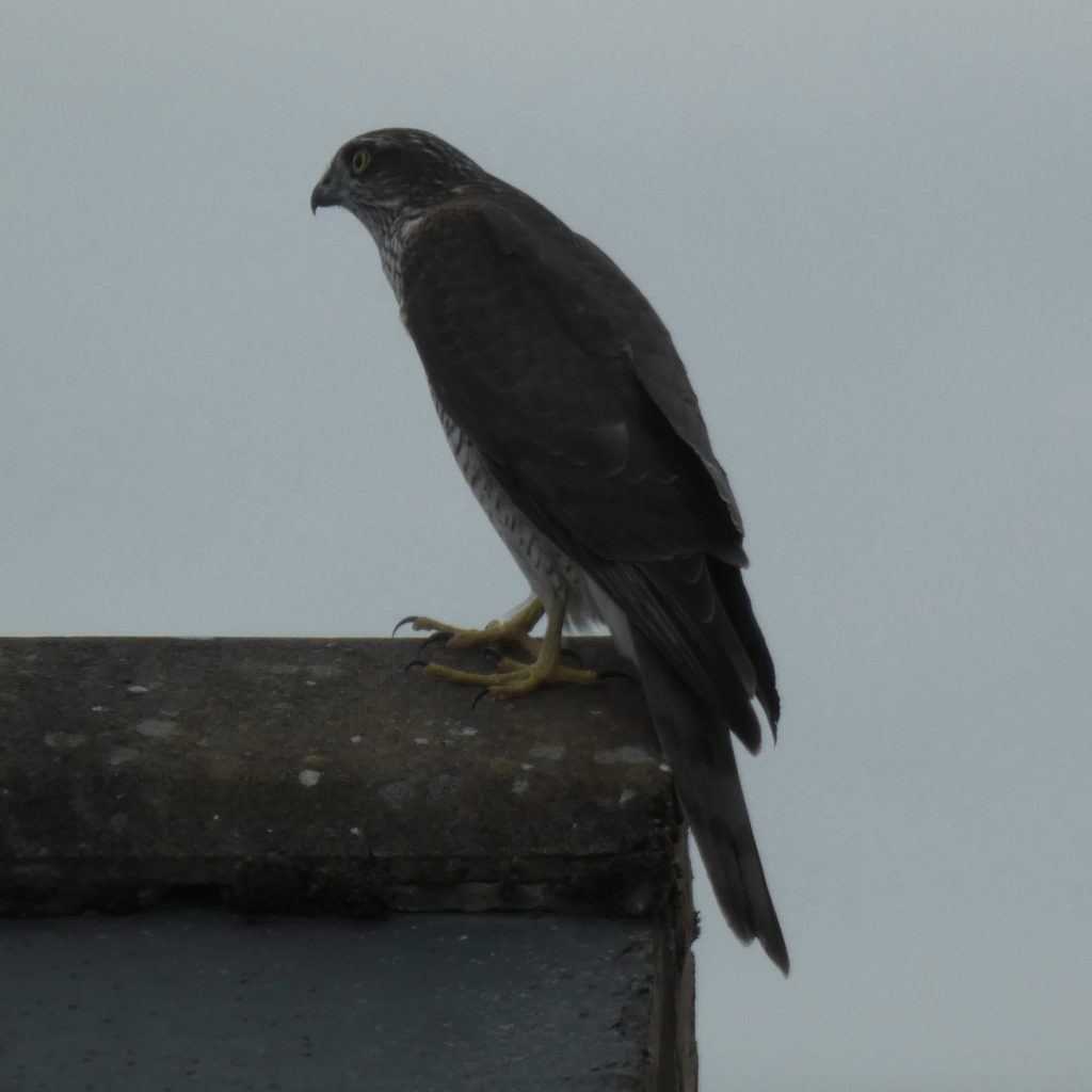 A photograph of a Peregrine Falcon taken in Craven Arms, Shropshire on Sunday 30th August 2020.